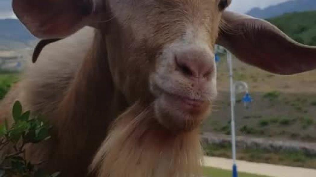 Разговор с козой