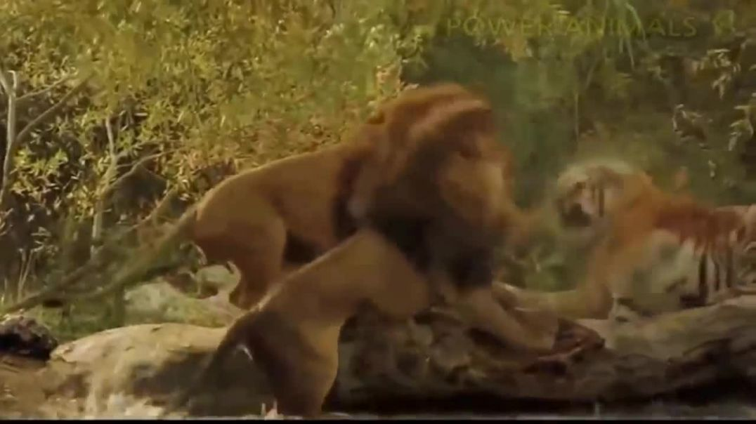 Хороший лев борется с плохими львами, чтобы спасти тигра!